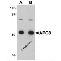 Anti-CDC23 Antibody (Internal) for IHC, ICC, WB/Western
