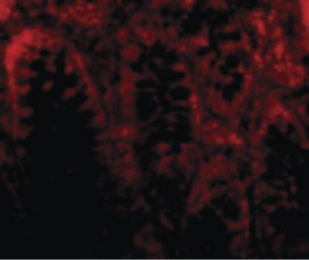 cdkn2a anti cdkn2a p16ink4a antibody n terminus for ihc wbwestern